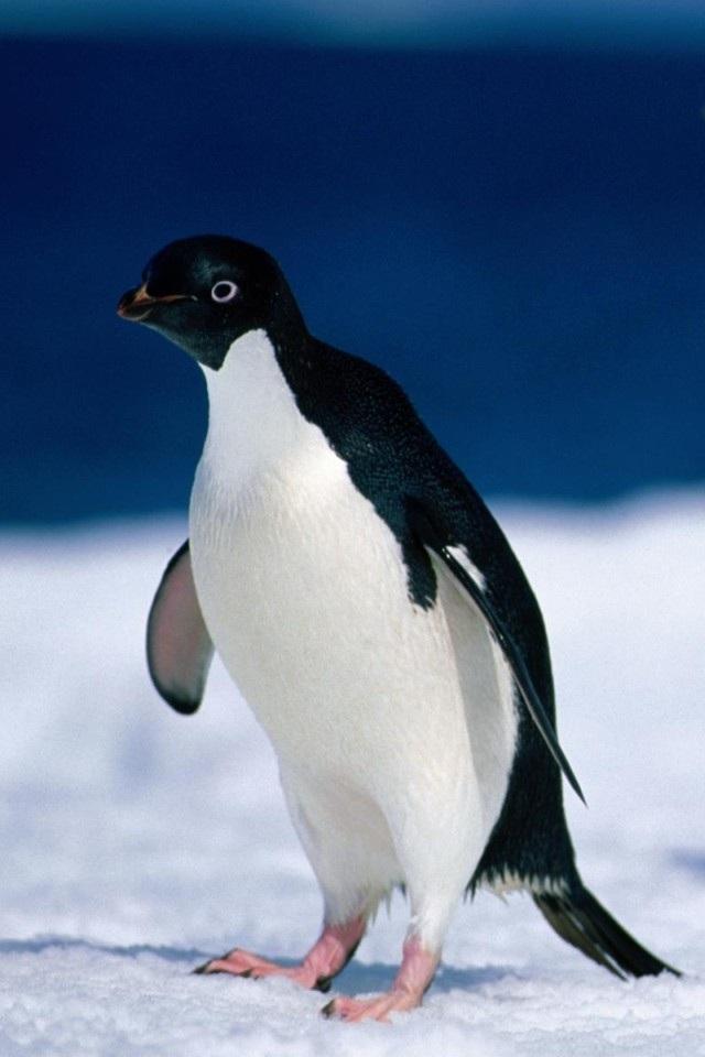 壁纸 动物 企鹅 640_960 竖版 竖屏 手机