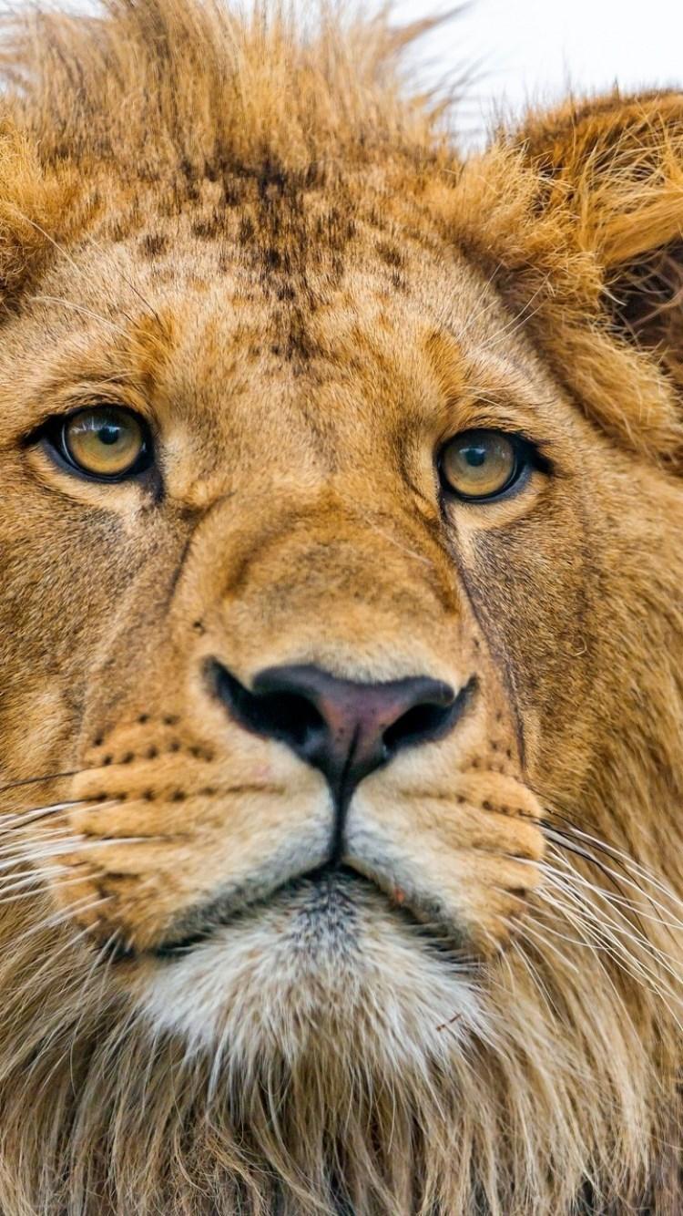 壁纸 动物 狮子 桌面 750_1334 竖版 竖屏 手机
