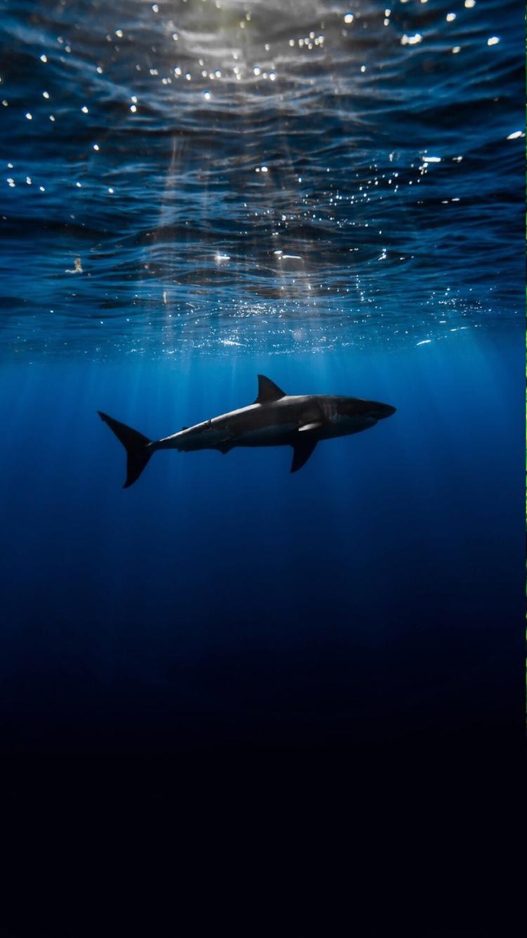 海洋 鲨鱼 苹果手机高清壁纸 750x1334_爱思助手