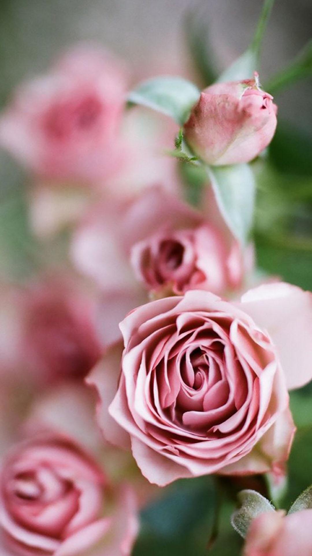 粉色玫瑰花 蔷薇 鲜花 苹果手机高清壁纸 1080x1920