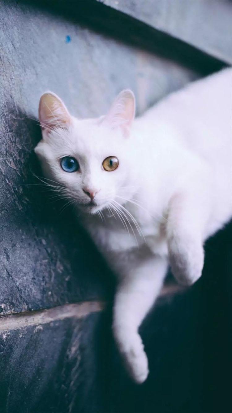 壁纸 动物 狗 狗狗 猫 猫咪 小猫 桌面 750_1334 竖版 竖屏 手机