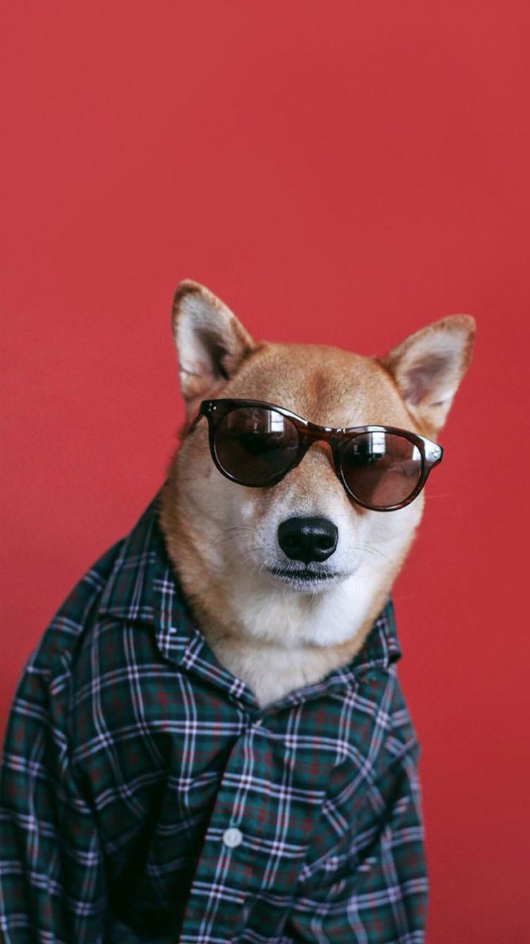 戴眼镜的柴犬 苹果手机高清壁纸 750x1334_爱思助手