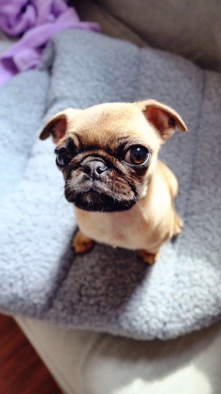 可爱的小巴哥犬