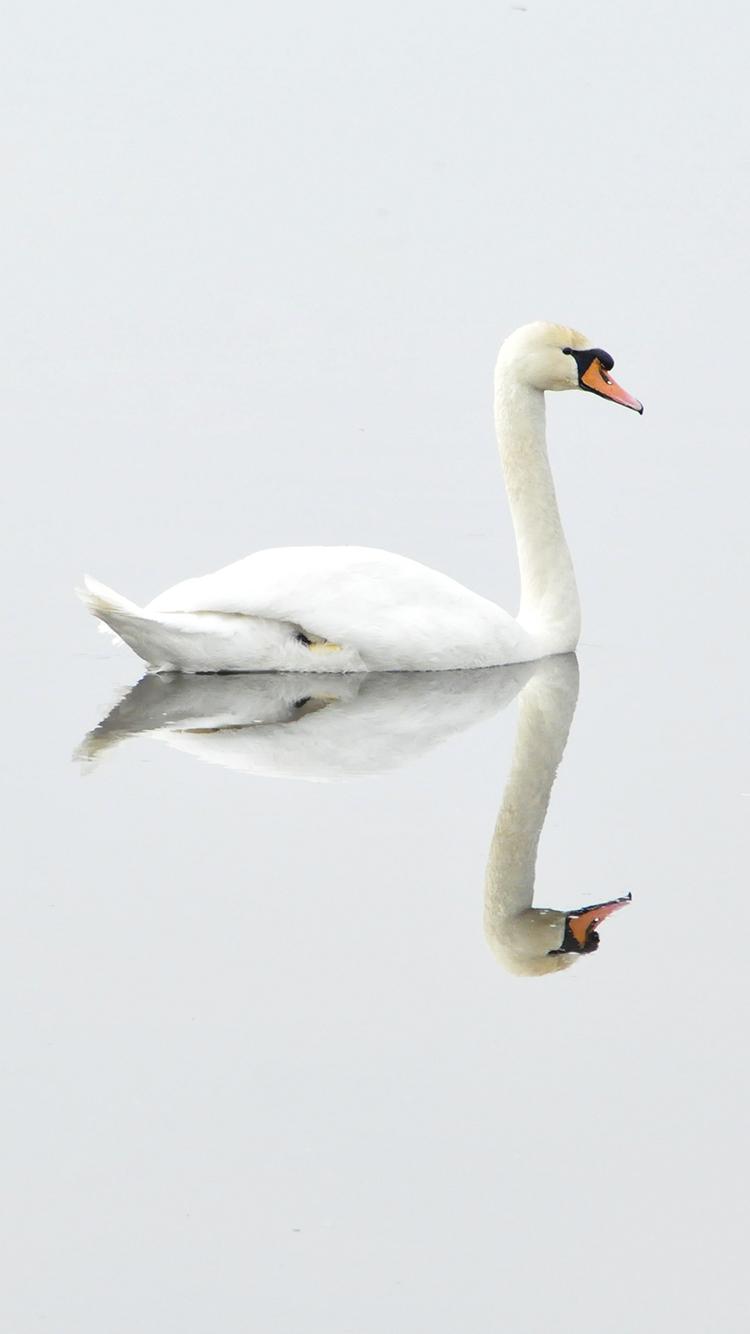 天鹅 鸟 自然 水 镜像 倒影 美丽 白色