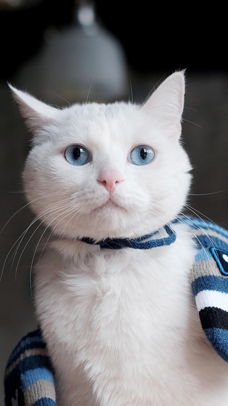 猫 蓝眼睛 白色 苹果手机高清壁纸 750x1334_爱思助手