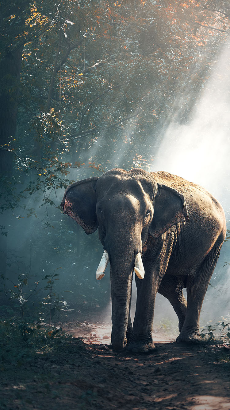 野生动物 大象 树林 草绿 哺乳动物 苹果手机高清壁纸
