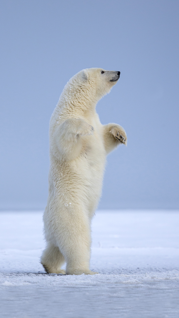 北极熊 南极 雪地 站立 动物 行走 白色 苹果手机高清