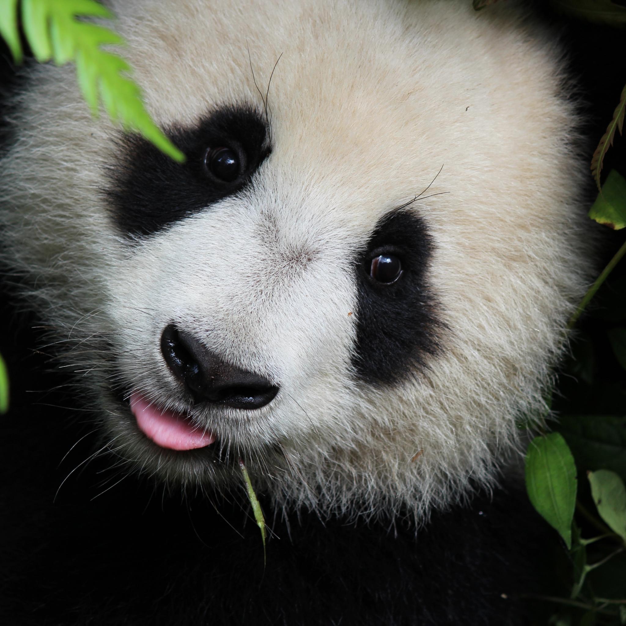 大熊猫 可爱 卖萌 竹子