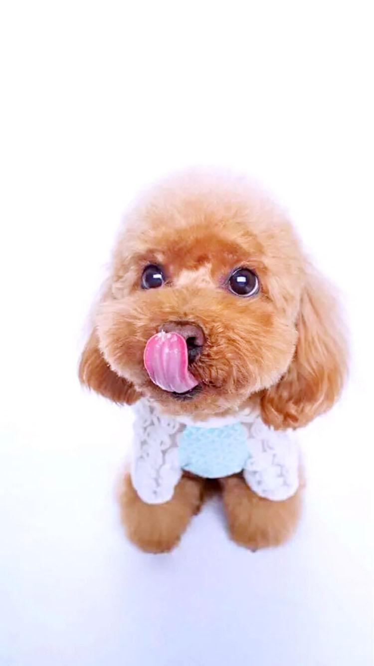 白色背景 可爱的小泰迪犬