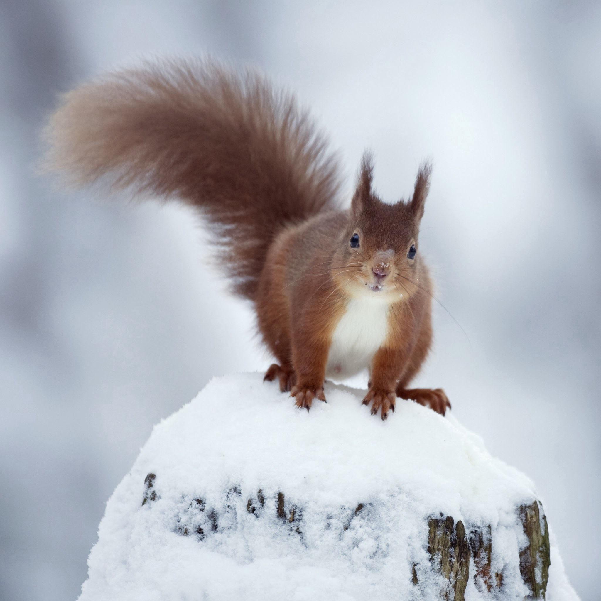 动物 松鼠 雪地 可爱