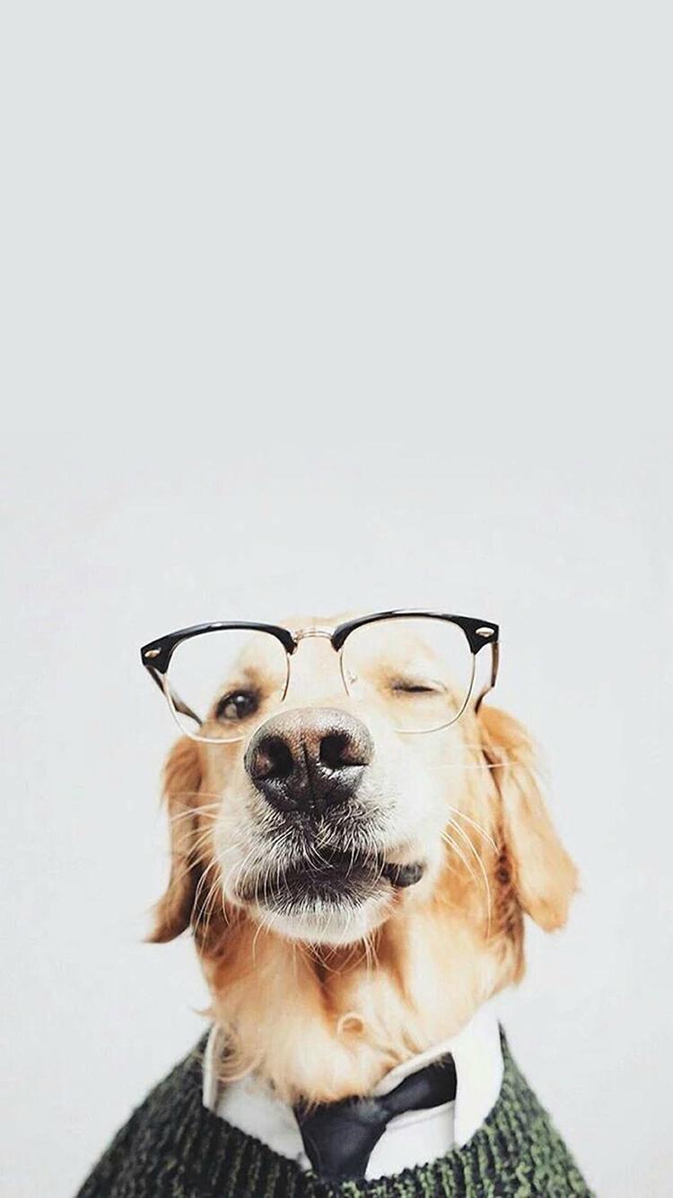 金毛 狗犬 眼睛 领带 宠物 动物