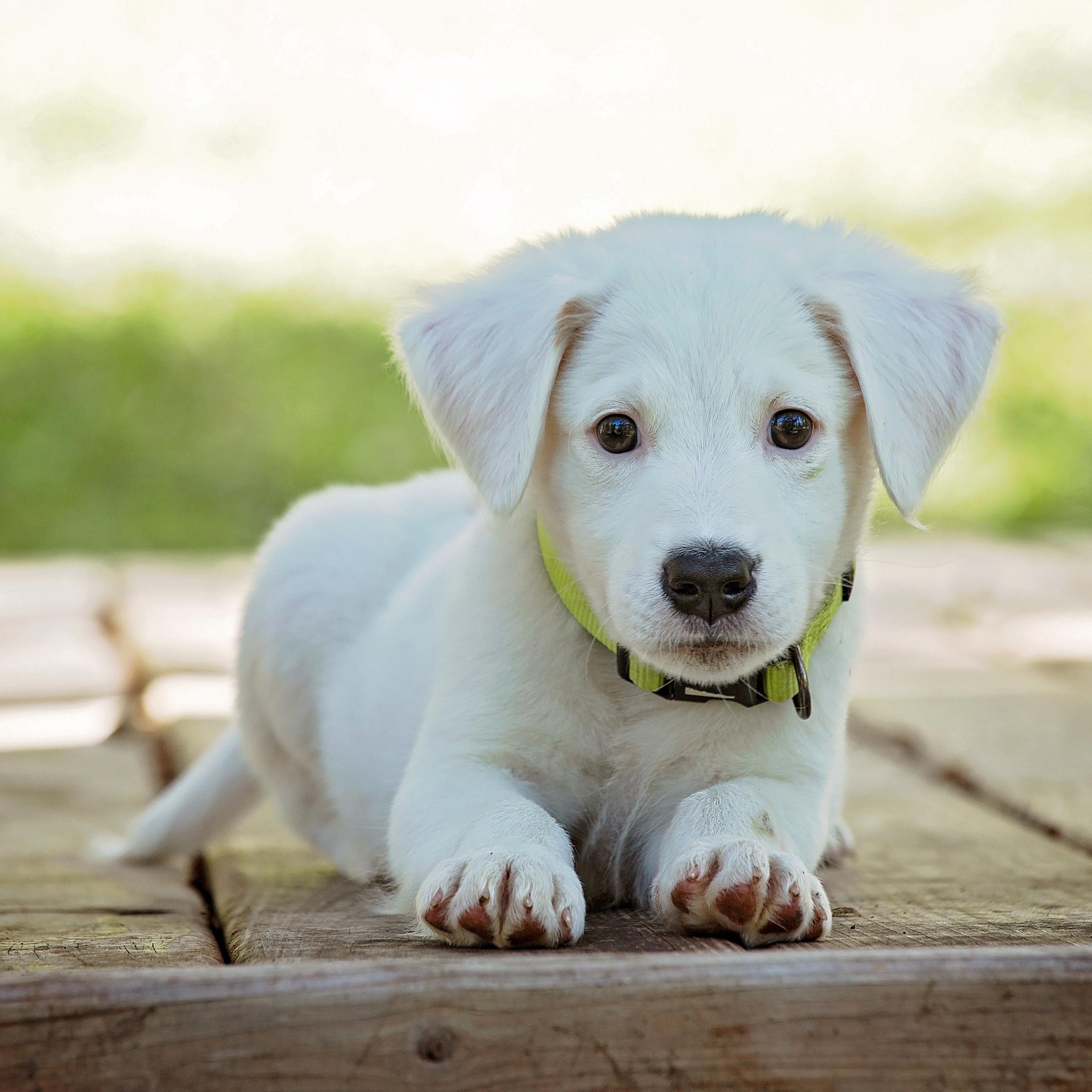 动物 宠物 动物 可爱 白 可爱的 狗宝宝