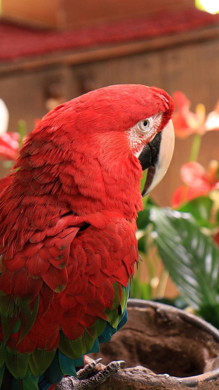 鹦鹉 鸟 羽毛 红色 动物 苹果手机高清壁纸 750x1334