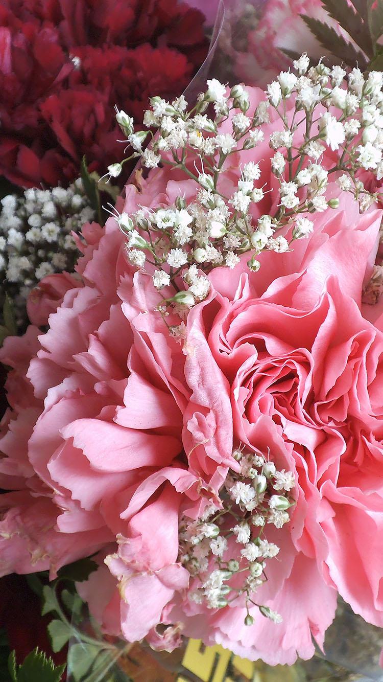 花朵 植物 花朵 玫瑰 杜鹃花 粉 苹果手机高清壁纸 x
