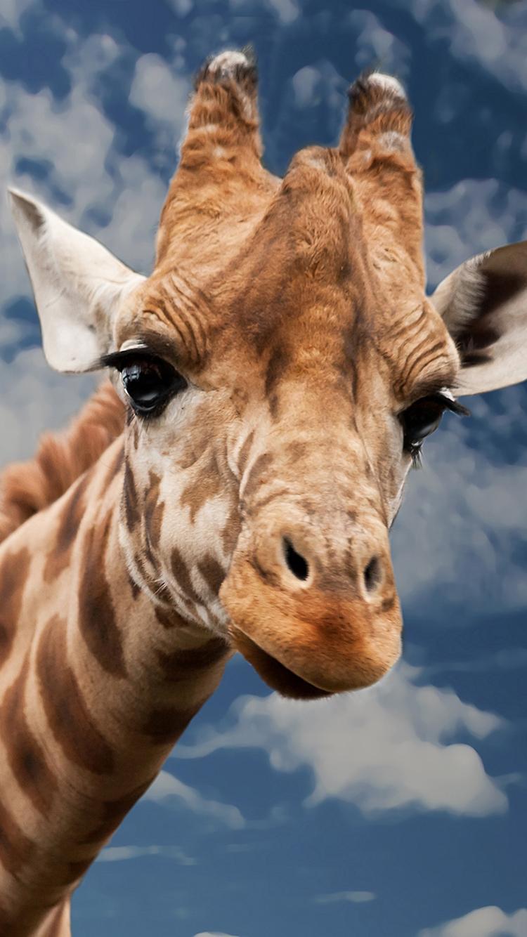 长颈鹿 动物 蓝天白云