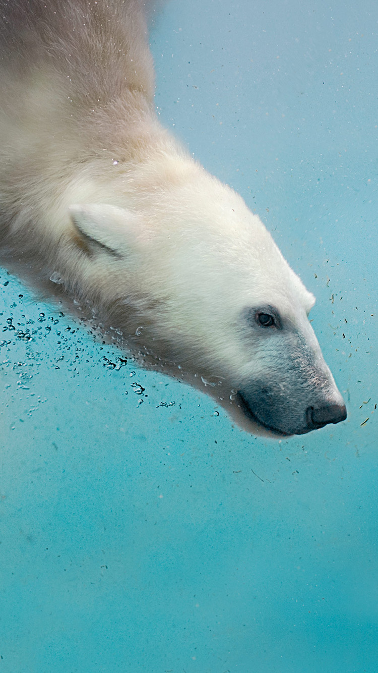 潜水 北极熊 动物 游泳
