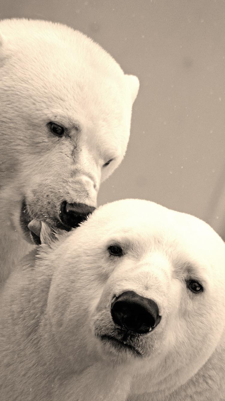 北极熊 动物 白色 苹果手机高清壁纸 750x1334_爱思