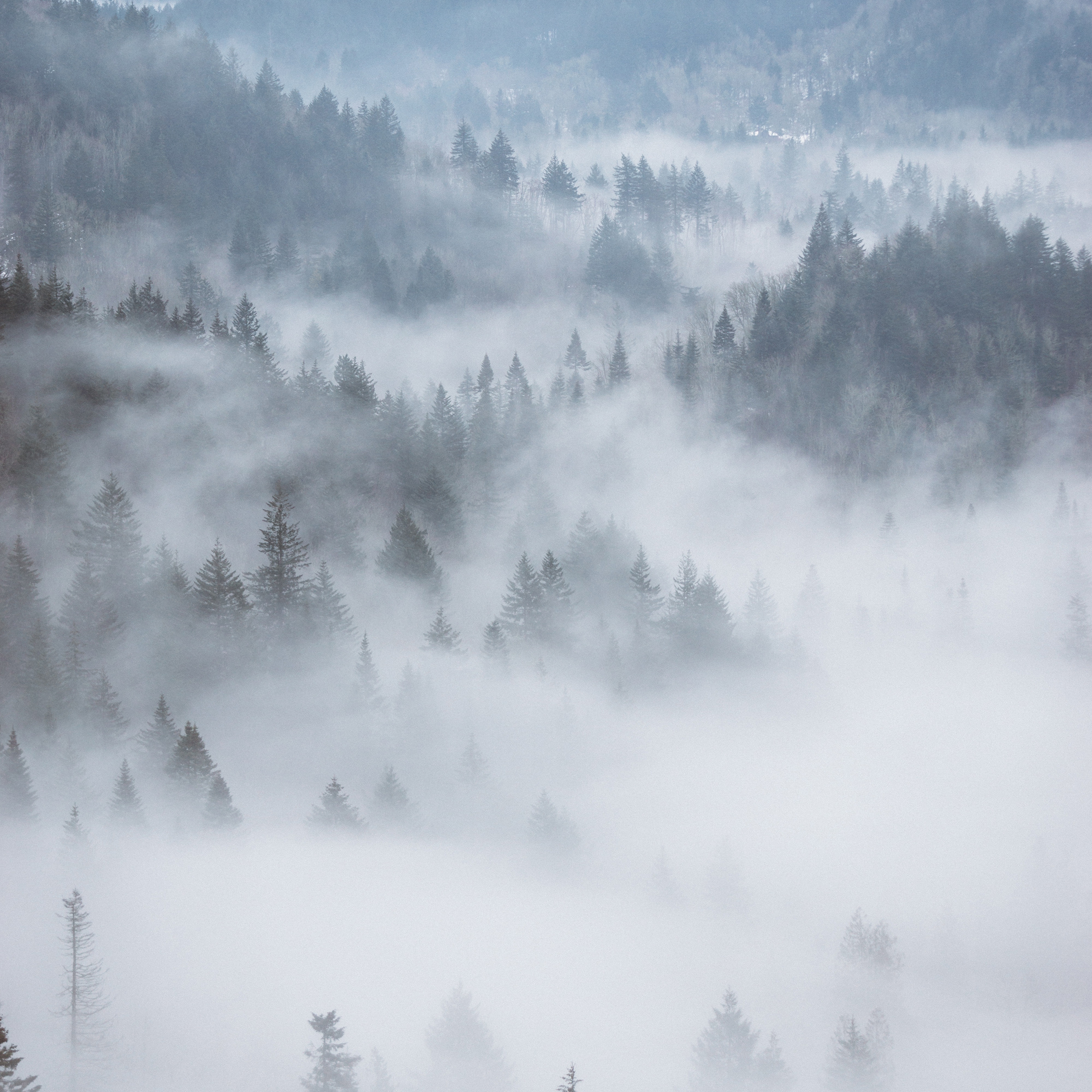 云雾荷花纹身手稿