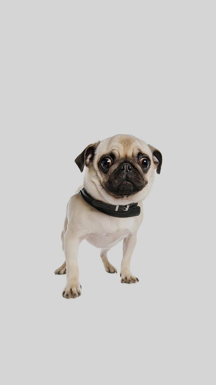 巴哥 动物 狗犬 萌宠 苹果手机高清壁纸 750x1334