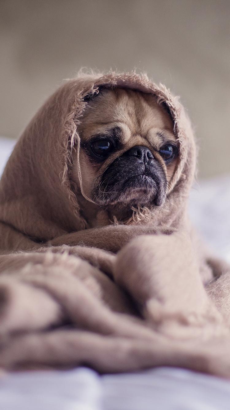 巴哥 动物 狗犬 萌宠 毛毯 苹果手机高清壁纸 750x