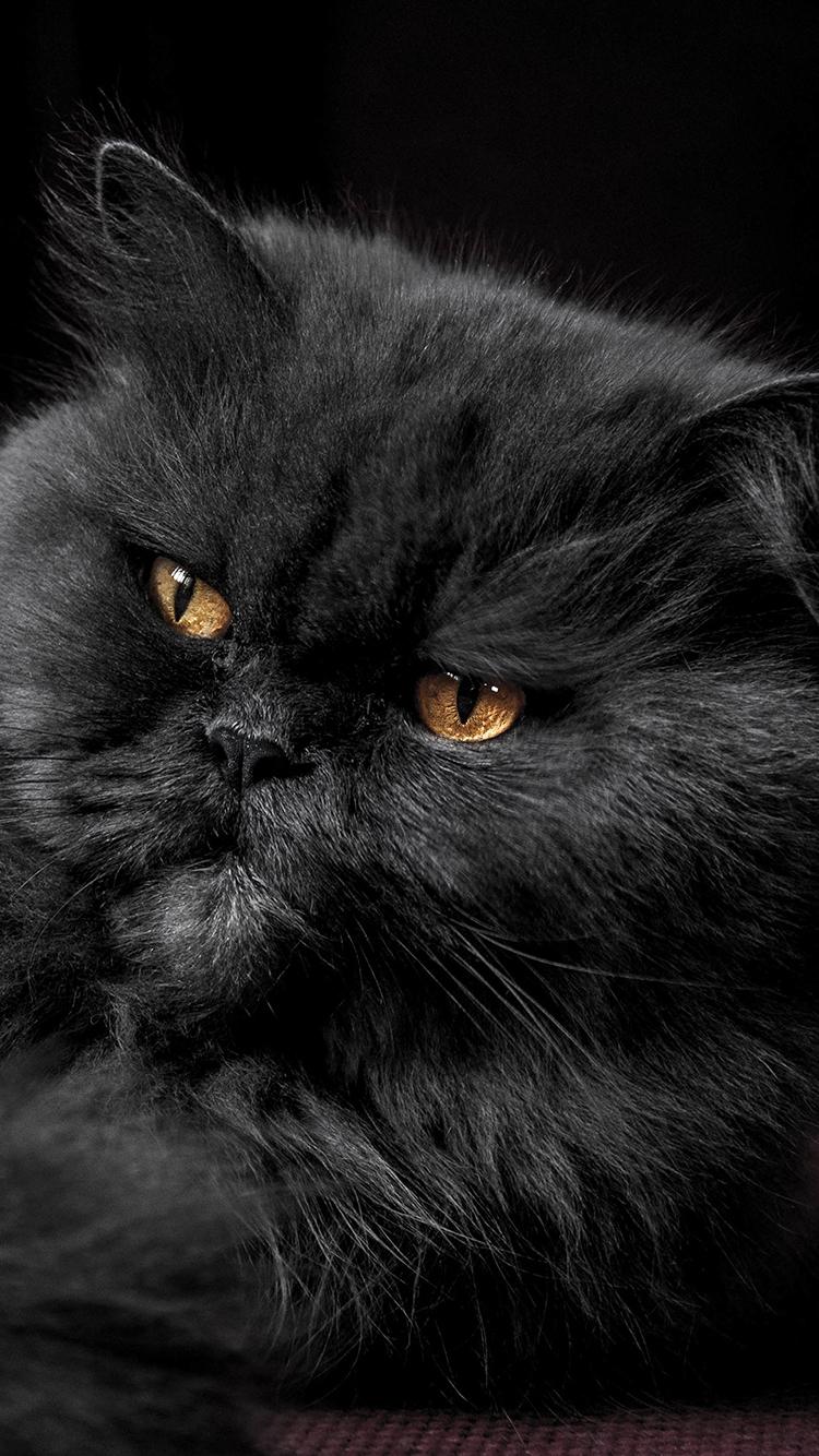 黑色宠物猫 霸气 严肃 苹果手机高清壁纸 750x1334