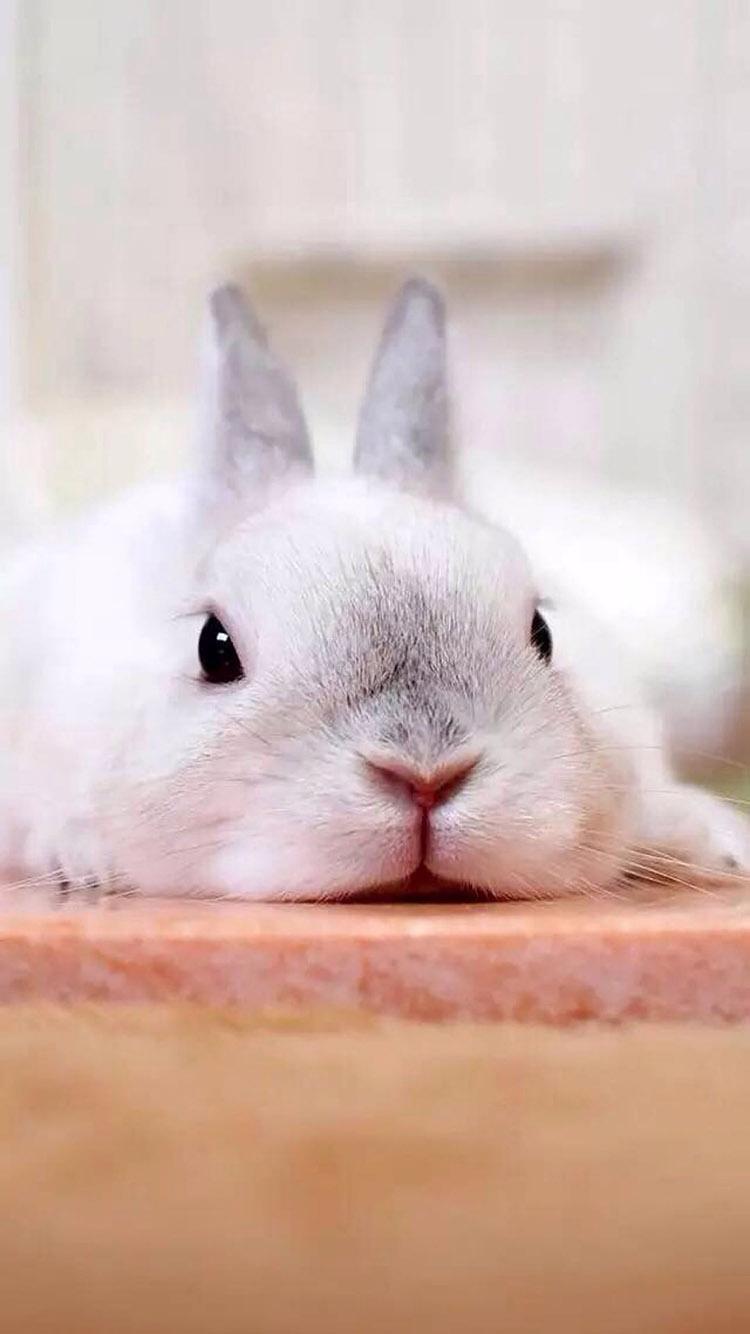 兔子 兔耳朵 可爱 苹果手机高清壁纸 750x1334_爱思