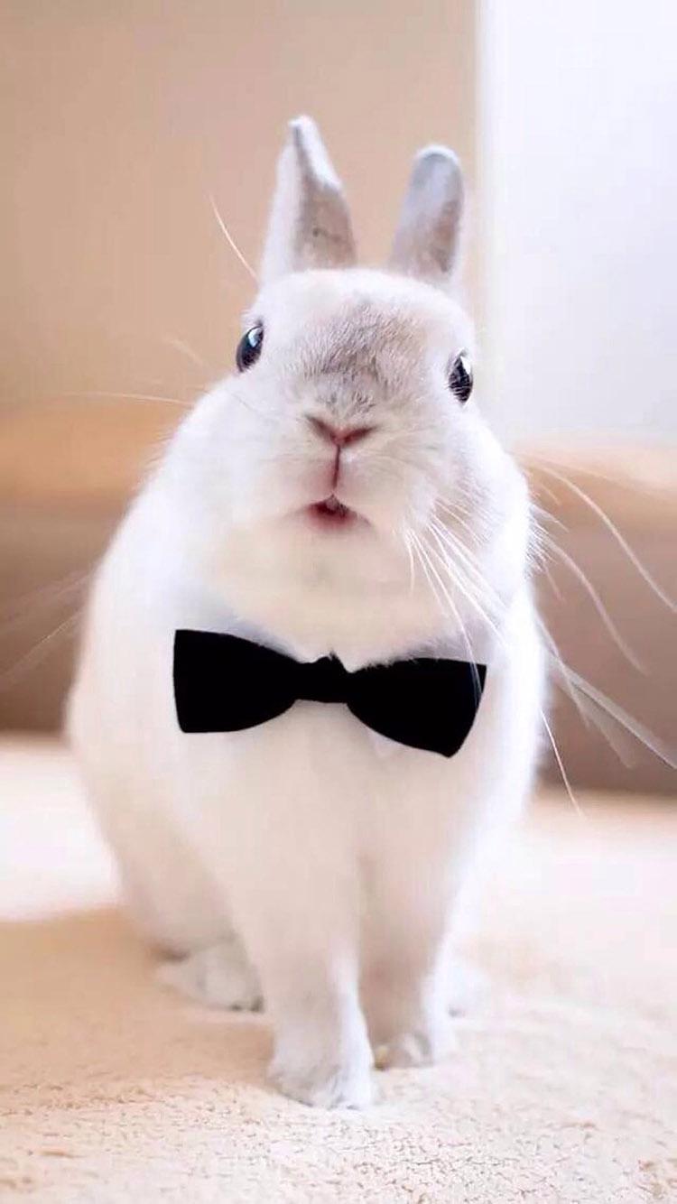 带领结的帅气小白兔 苹果手机高清壁纸 750x1334_爱思