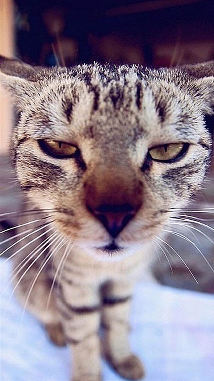 可爱 萌 猫咪 动物 苹果手机高清壁纸 750x1334_爱思