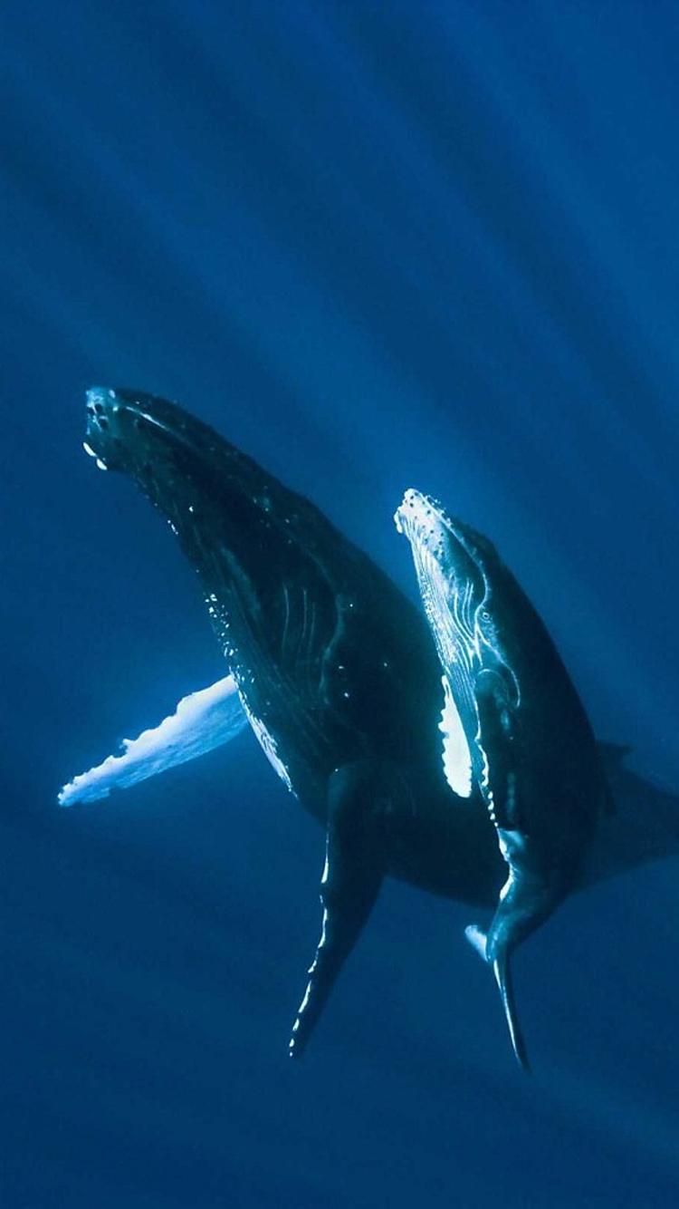 鲸 海洋生物 动物 哺乳 大海 蓝色
