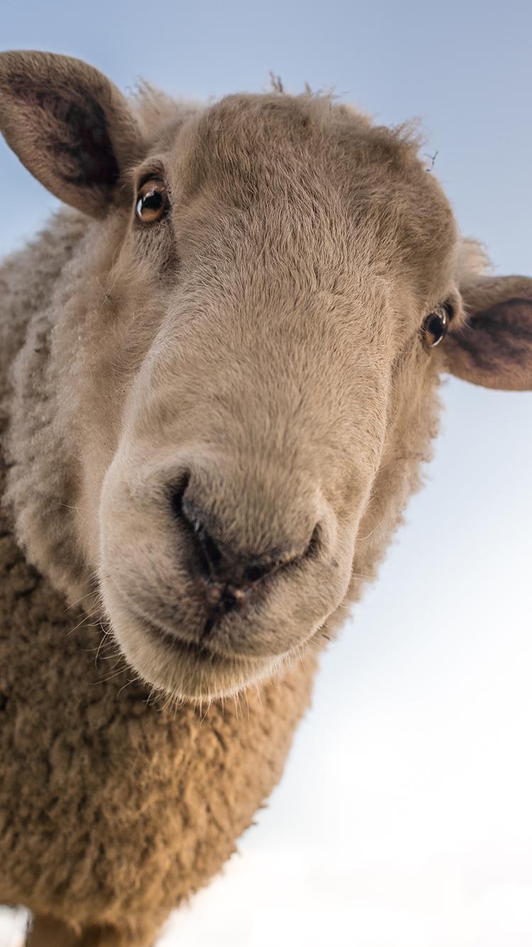 牲畜 动物 可爱的羊