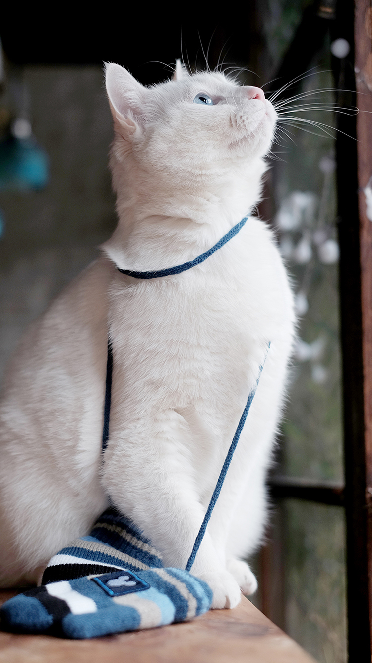 猫 白色 喵星人 萌宠 苹果手机高清壁纸 750x1334