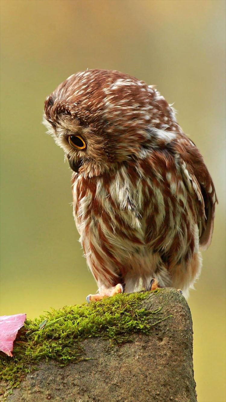 猫头鹰 萌 飞行动物 羽毛