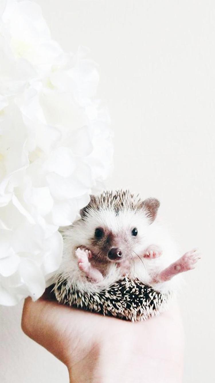 刺猬 动物 宠物 可爱