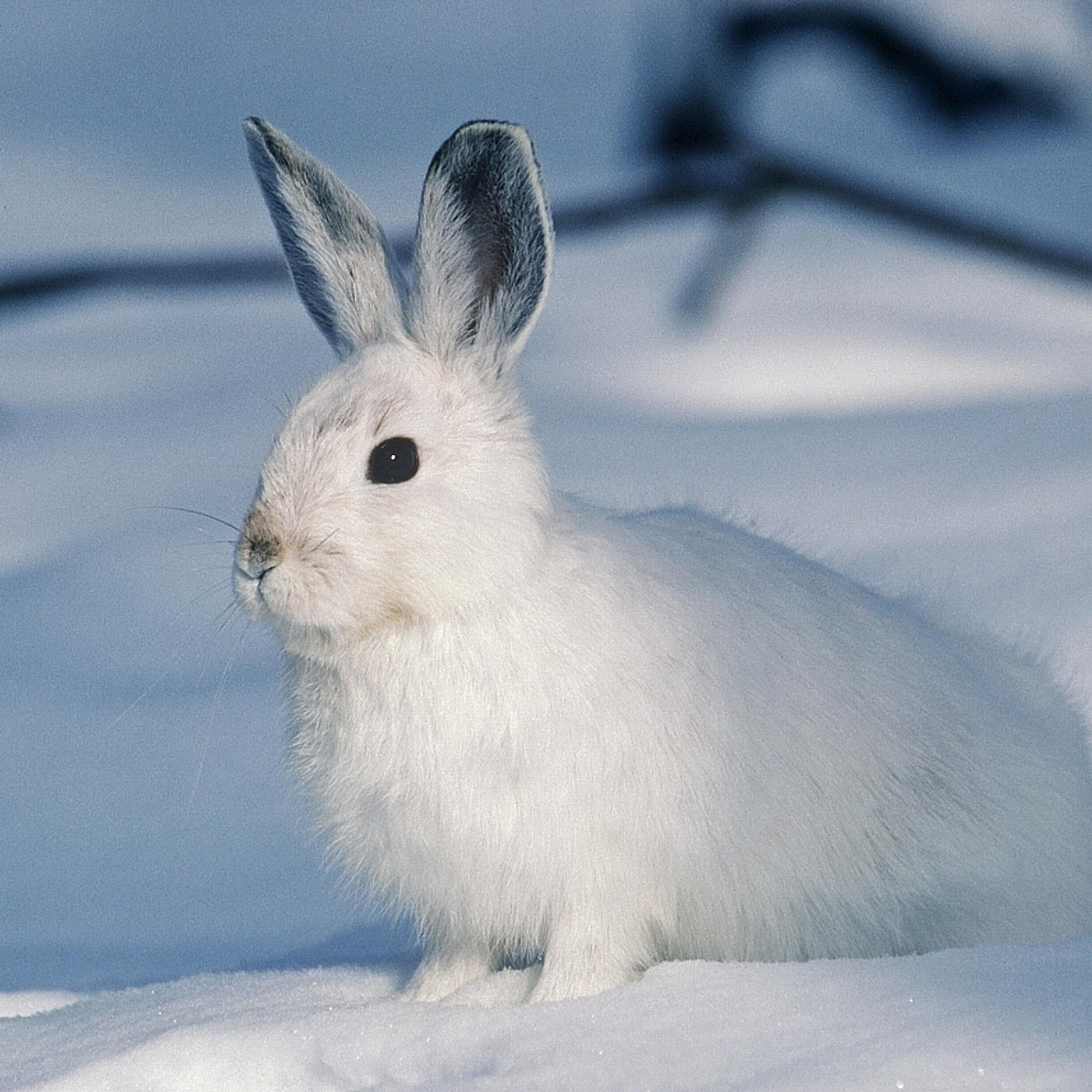 兔子 动物 雪白雪地