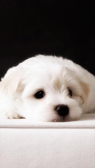 狗狗 白色 萌宠 汪星人