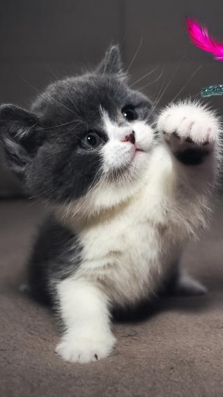 宠物小奶猫 猫咪 喵星人 萌宠