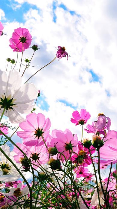 蓝天 白云 格桑花 鲜花