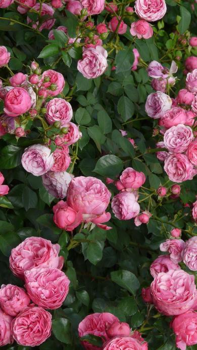 蔷薇 粉色 鲜花 浪漫