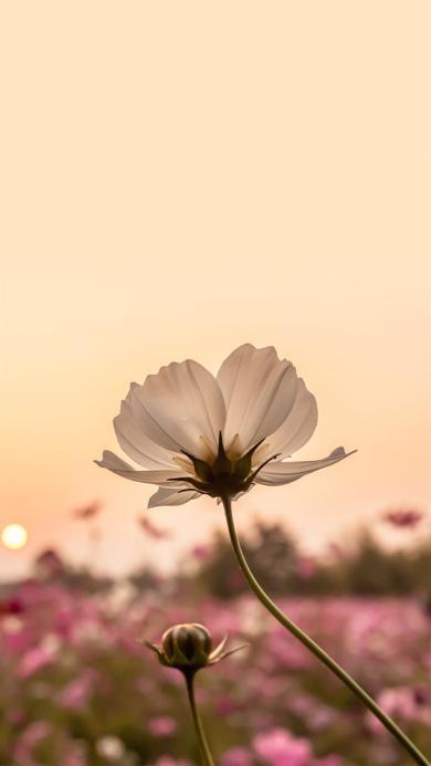 花朵 白色 植物 花苞 特写