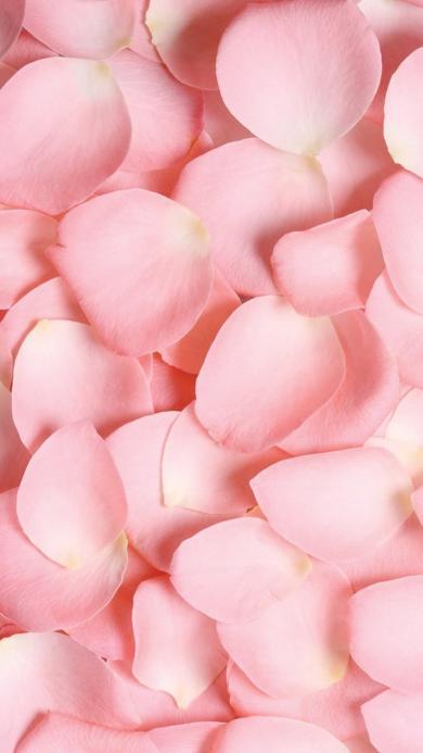 花瓣 鲜花 玫瑰 粉色 浪漫