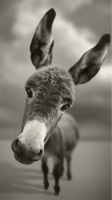 毛驴 小驴 灰色