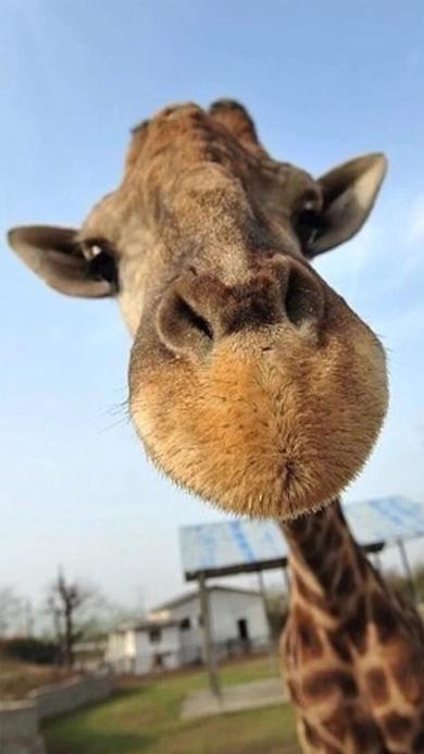 萌宠 长颈鹿 动物 蓝天
