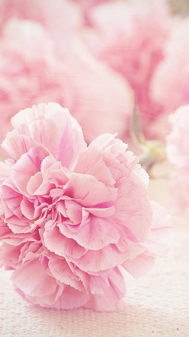 茂盛 粉色 装饰 花瓣 花蕊 牡丹花 鲜艳 花束