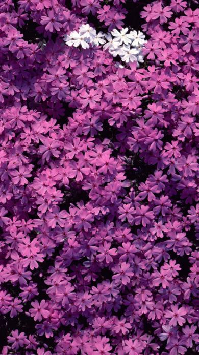 鲜花 紫色 花海 浪漫