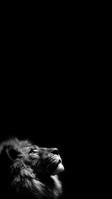 狮子 黑白 猛兽 森林之王 凶猛