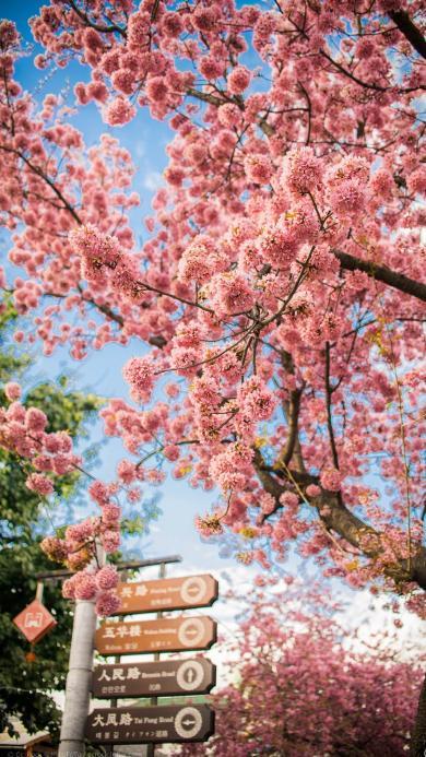 樱花 粉色 鲜花 树木 浪漫 唯美