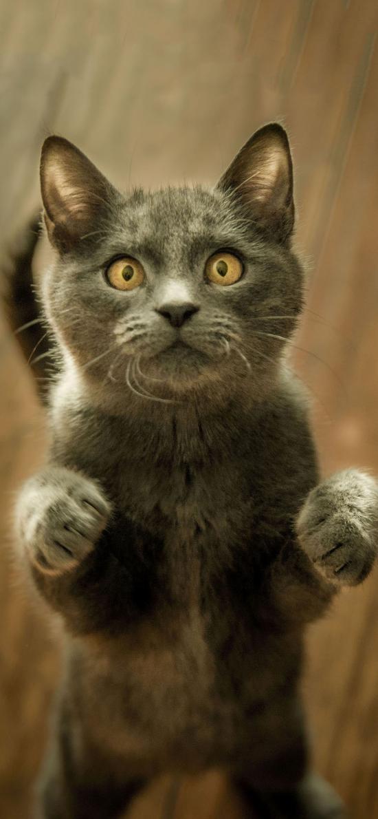 宠物猫 喵星人 站立 呆萌
