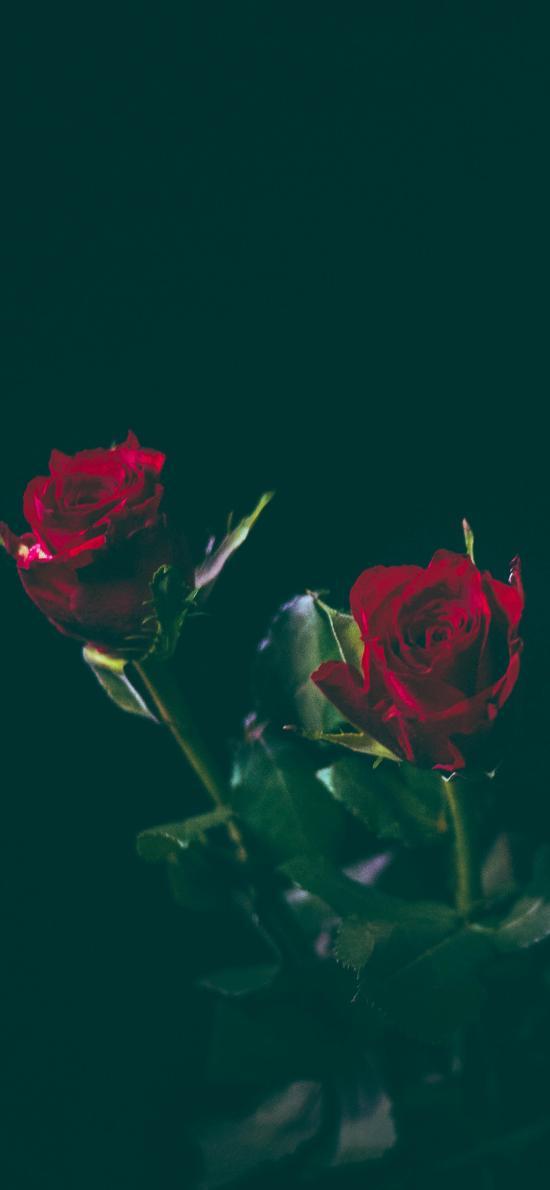鲜花 玫瑰 特写 花朵 枝叶