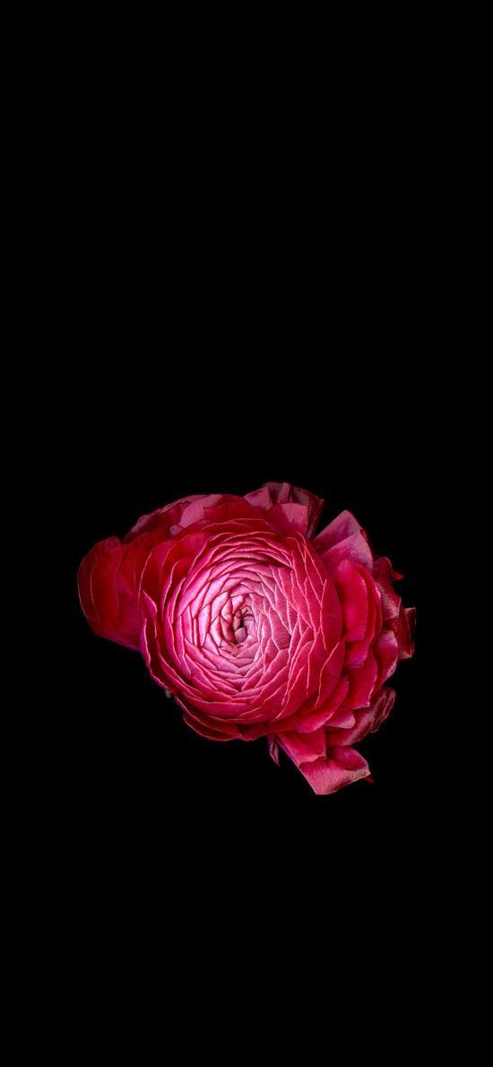 鲜花 绽放 红色 唯美 花瓣 浪漫