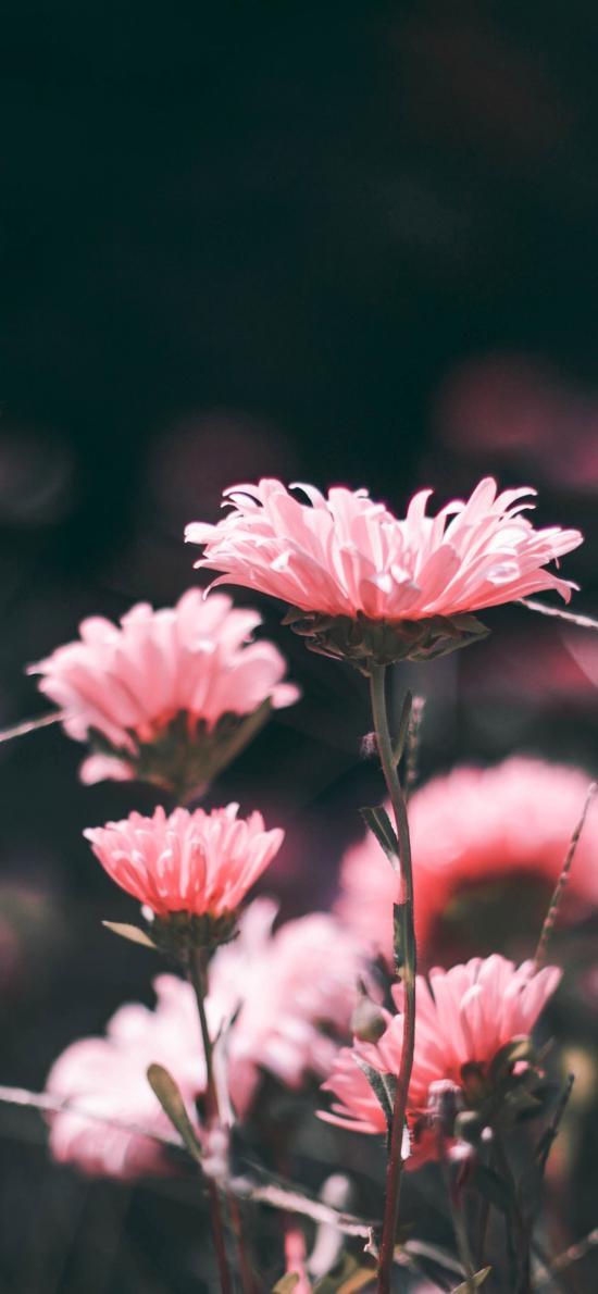 非洲菊 鲜花 粉色 盛开 唯美 枝干